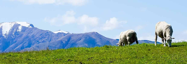 Moutons à la montagne