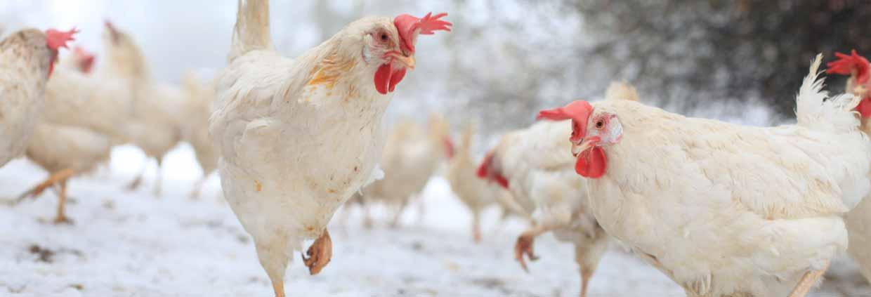 Poulets en hiver